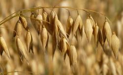 Photo of oats